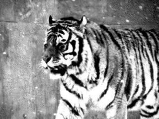 虎の画像20